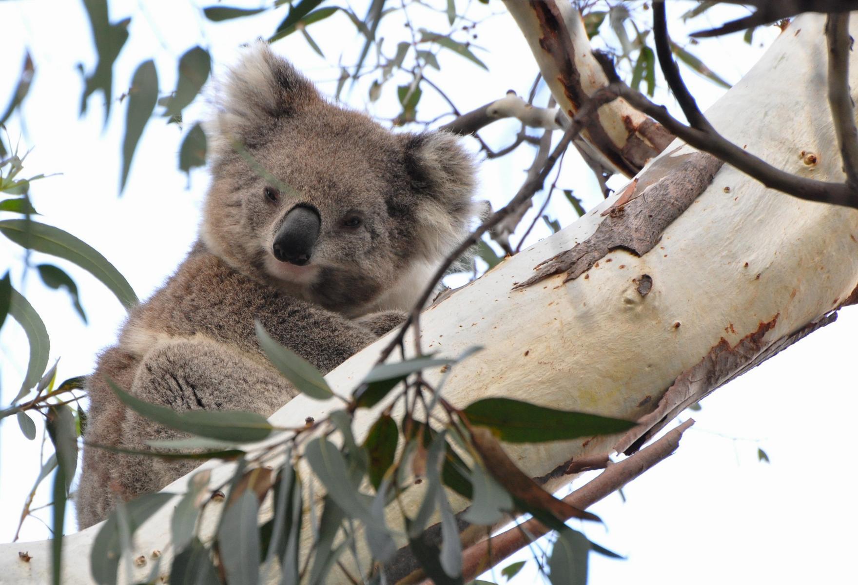 Koala visto en uno de los tours de Echidna Walkabout Wildlife Tours